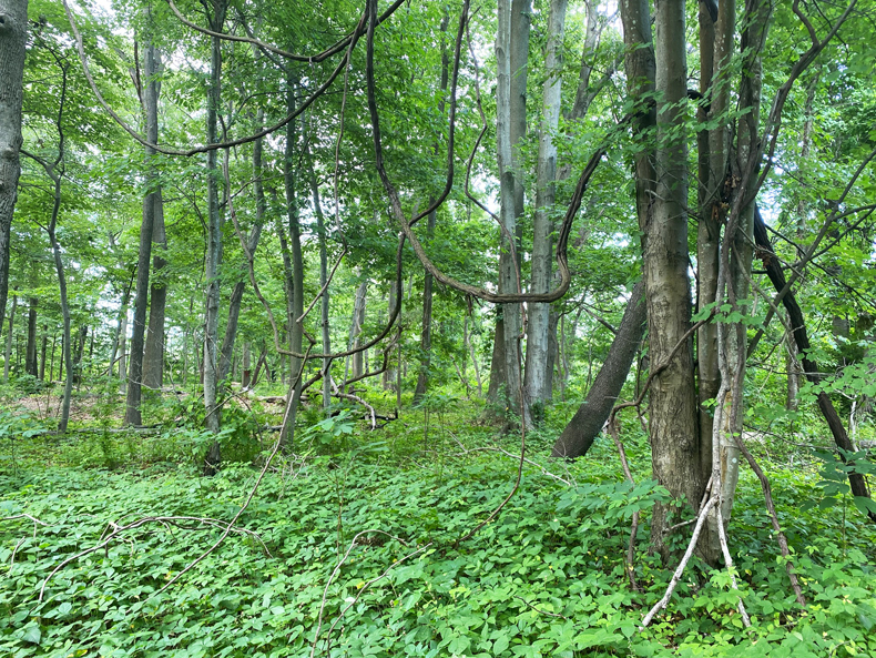Overgrown forest at Welwyn Preserve in Long Island
