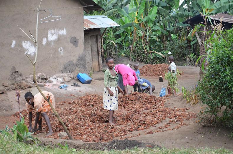 Women and girls drying sorghum in Uganda