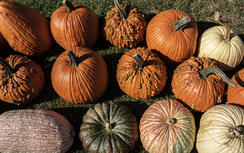 A variety of colorful pumpkins from a farm in the Sullivan Catskills region of New York state