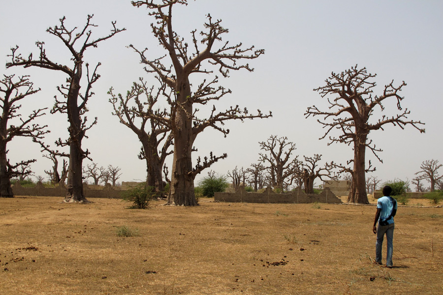 Baobab forest near Popenguine, Senegal