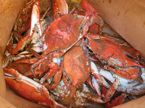 Cooked Chesapeake Bay blue crabs from Washington DC