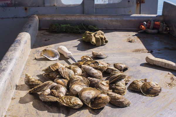 Harvested local oysters in Gulf Coast, Alabama