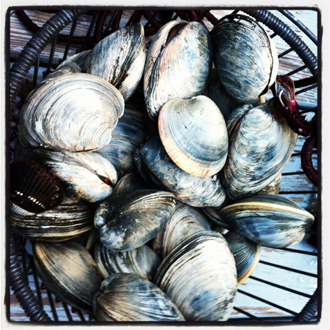 Bucket of clams, or quahogs, on Cape Cod