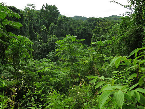 Jungle in Port Antonio, Jamaica