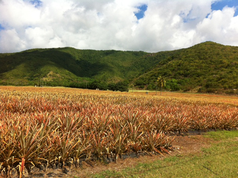Pineapple farm on the Caribbean island of Antigua