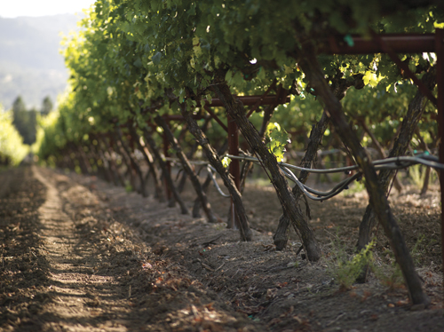 Vines up close at Central Park vineyard at Trinchero Napa Valley