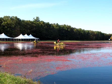 Cranberry bog in Cape Cod.